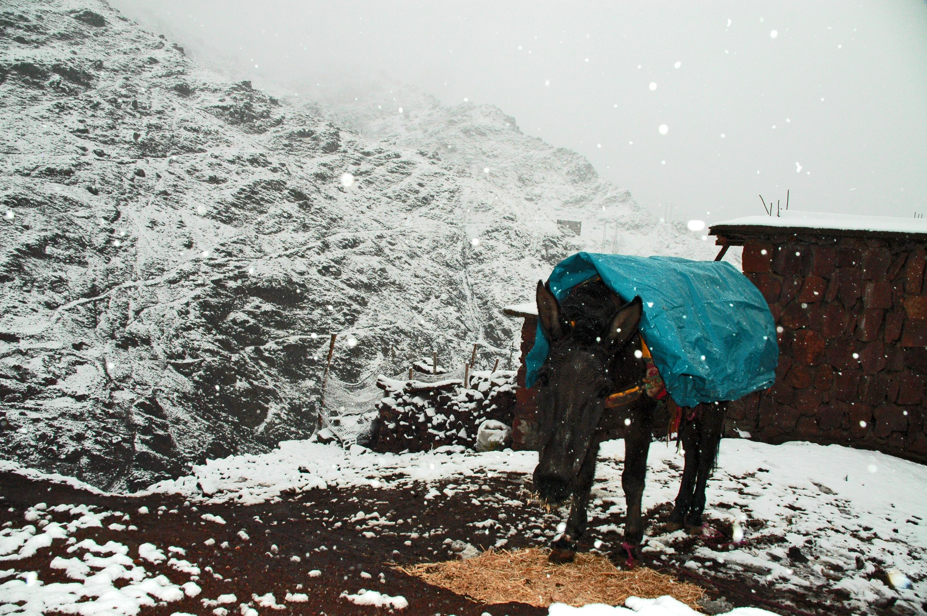 Atlas donkey in winter © JonoVernon-Powell