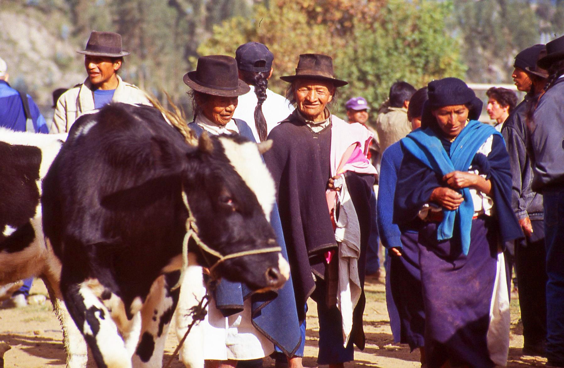 Cattle Couple Ecuador © JonoVernon-Powell