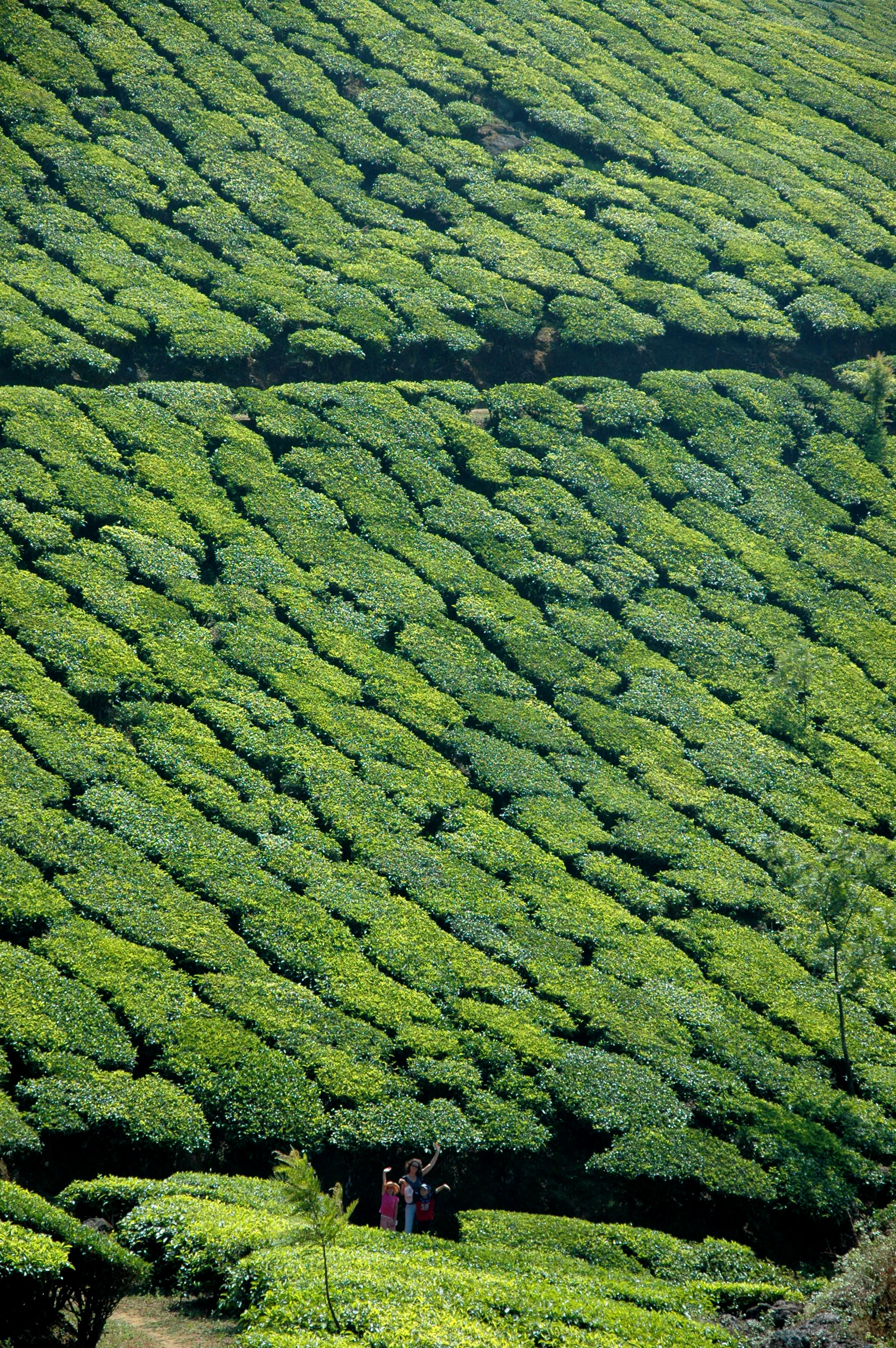 Munnar Tea Planatiion © JonoVernon-Powell.com
