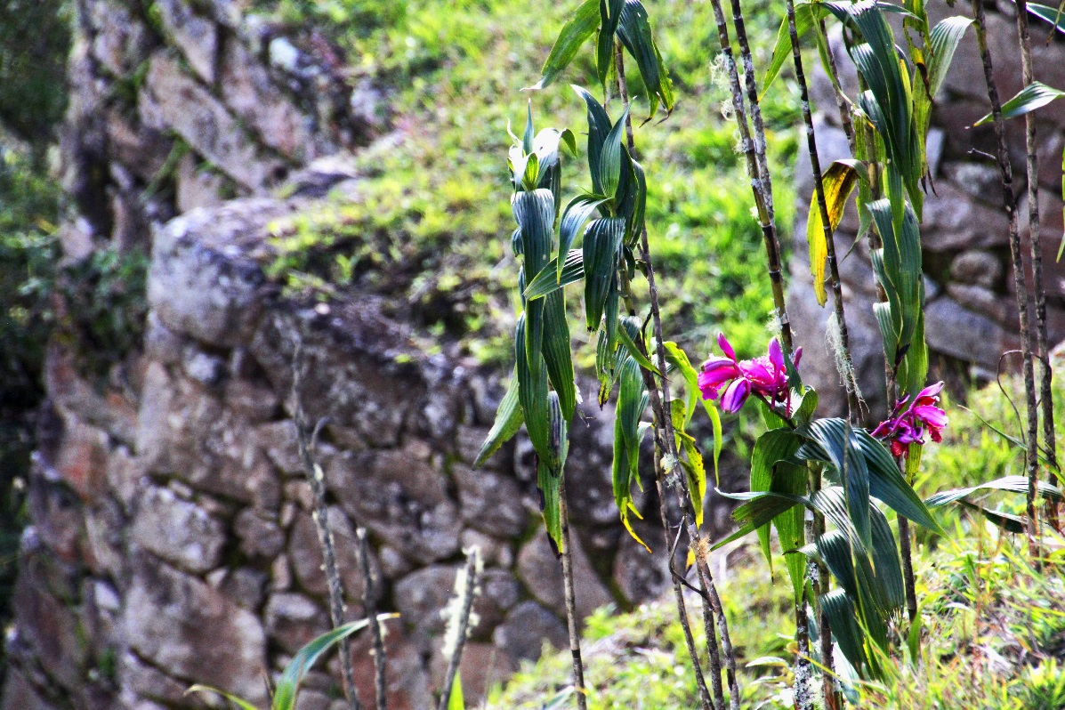 Orchid at Macchu Pichu © Nomadic Thoughts.com