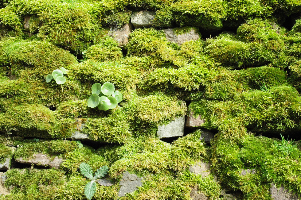 Llwyn-y-fron drystone wall