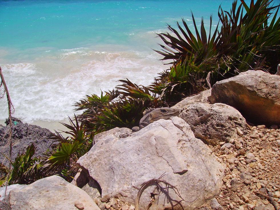 Monitor lizard beach view at Tulum Maya ruins