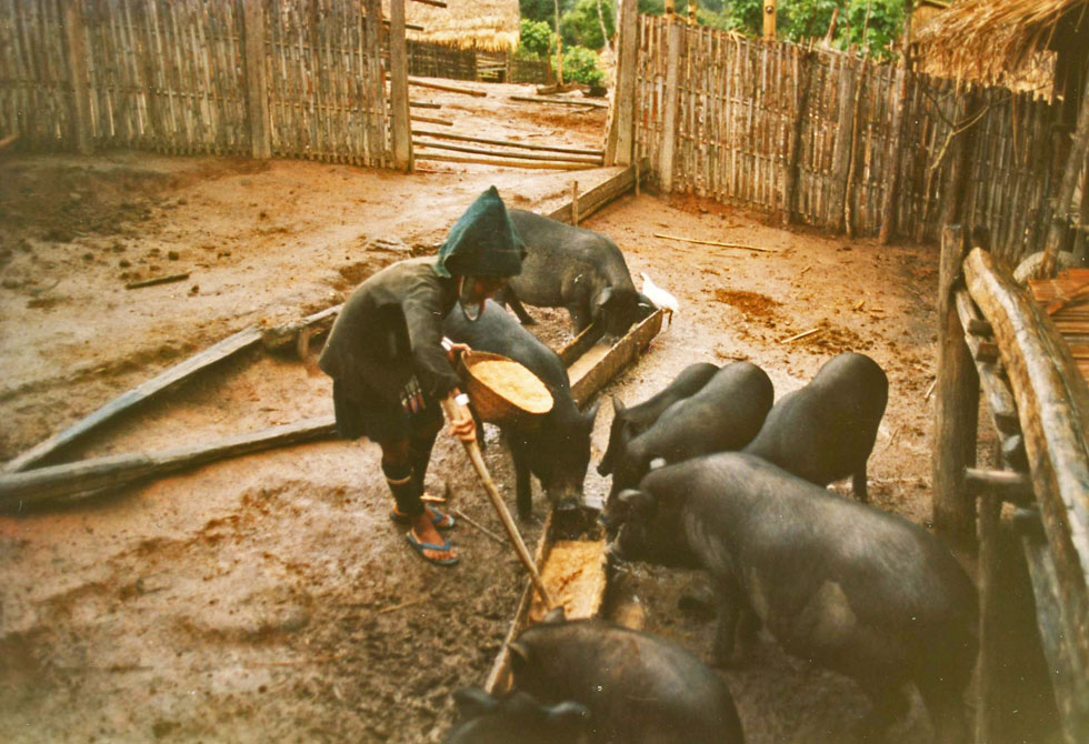 pig-feeding-hill-tribes-co